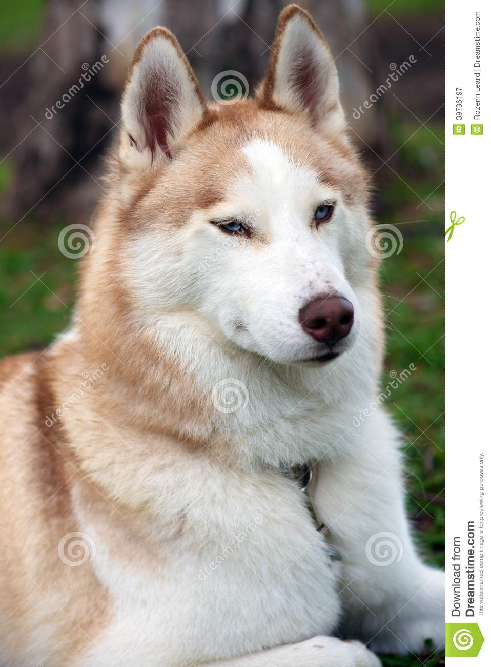 Husky Dog Portrait Stock Image Image Of Husky Sweet 39736197