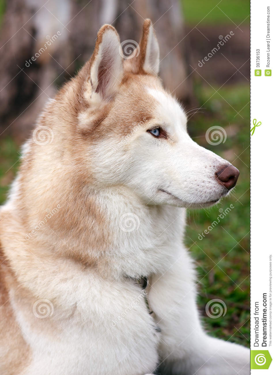 Husky Dog Portrait Stock Image Image Of Elegant Animal 39736153