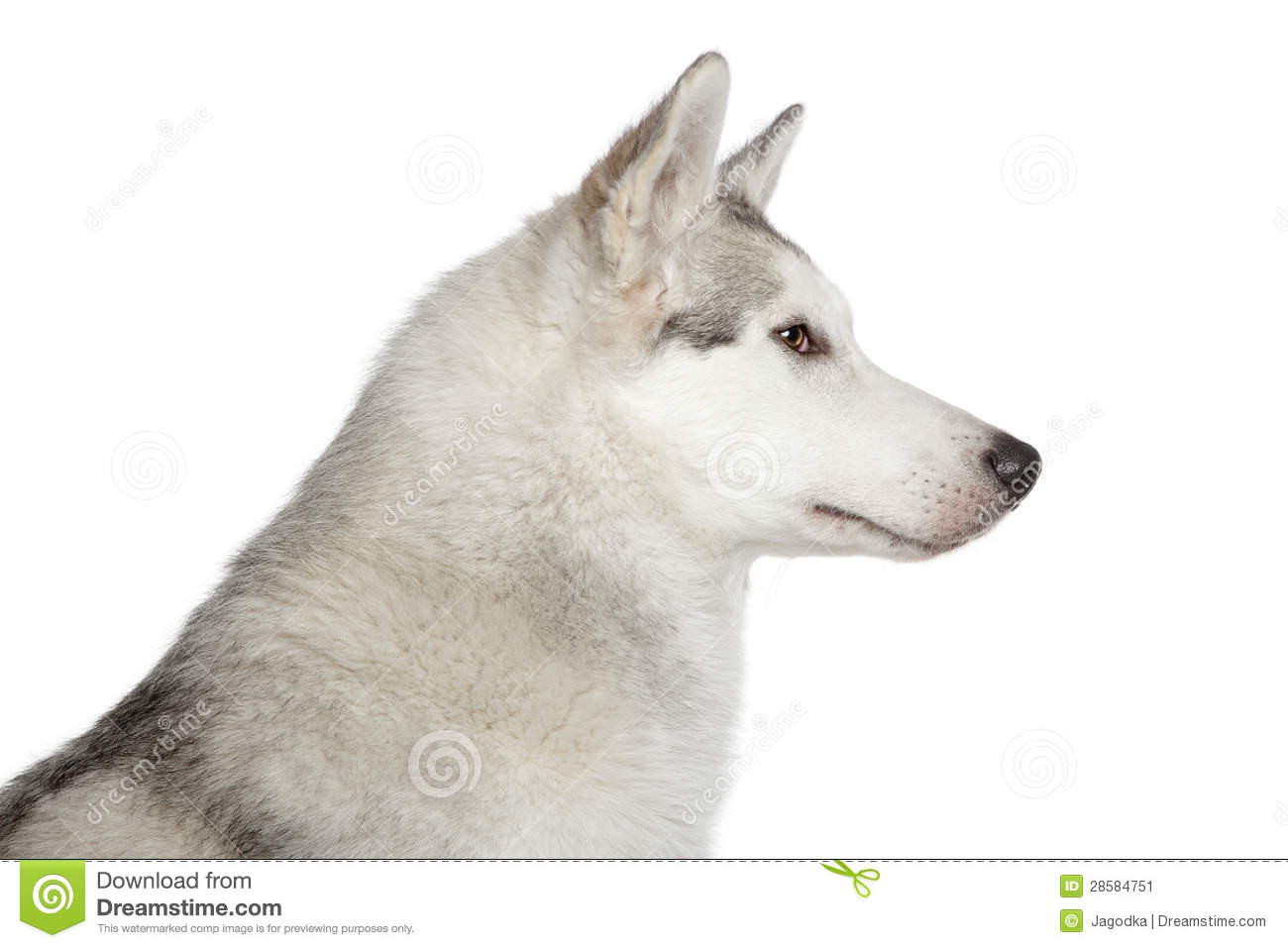 siberian husky on white background stock photos image