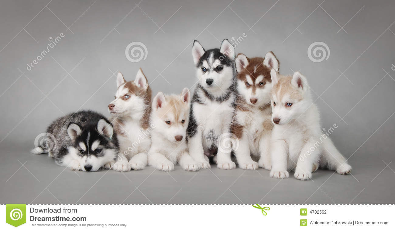 Husky Dog Puppies Stock Photo Image Of Poses Chinology 4732562