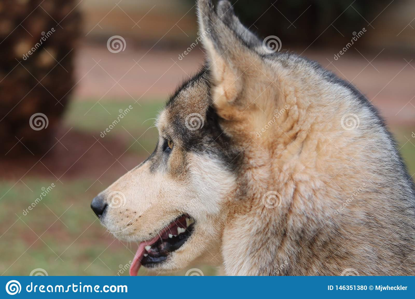 Husky Dog From The Side