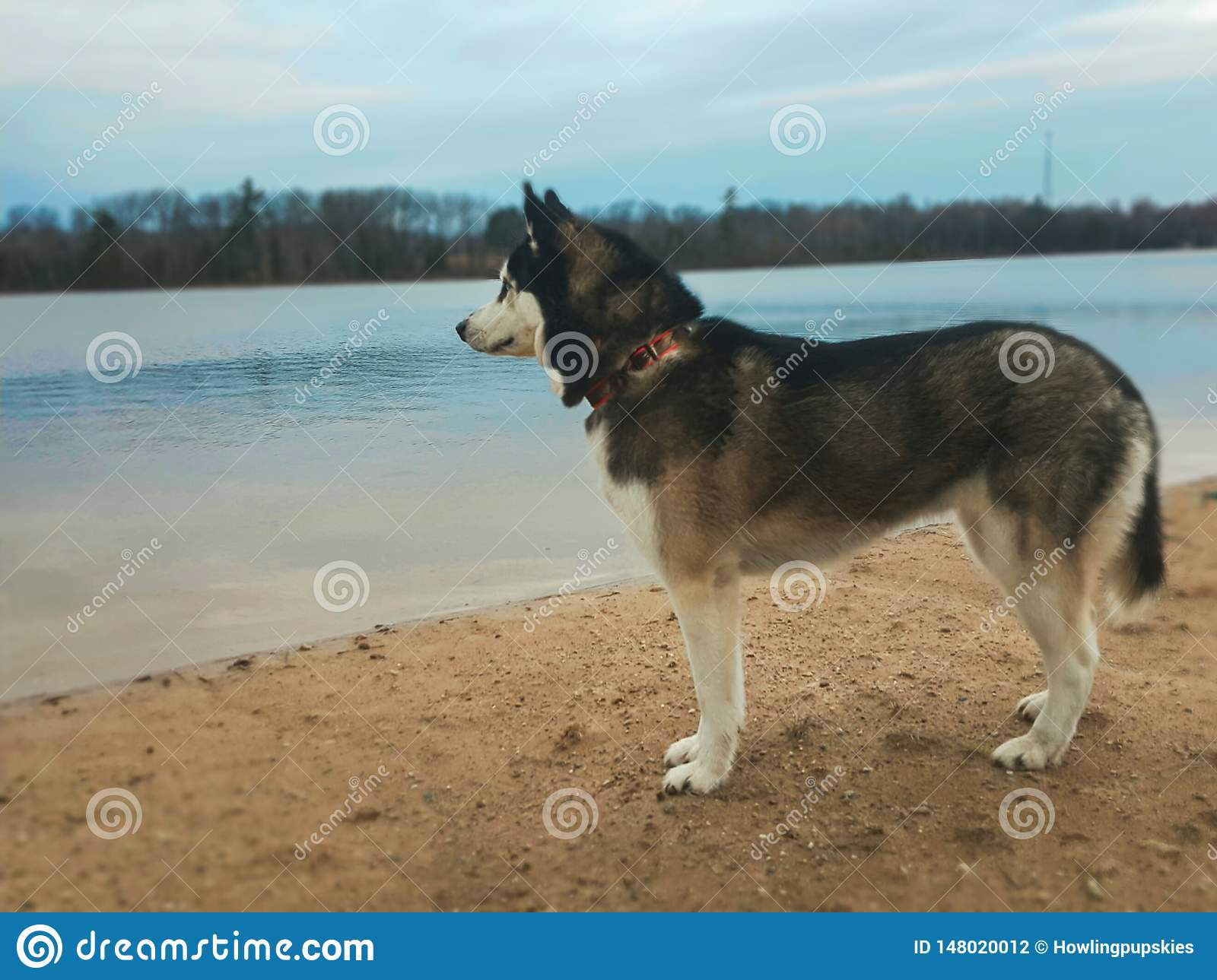 Husky dog by the water
