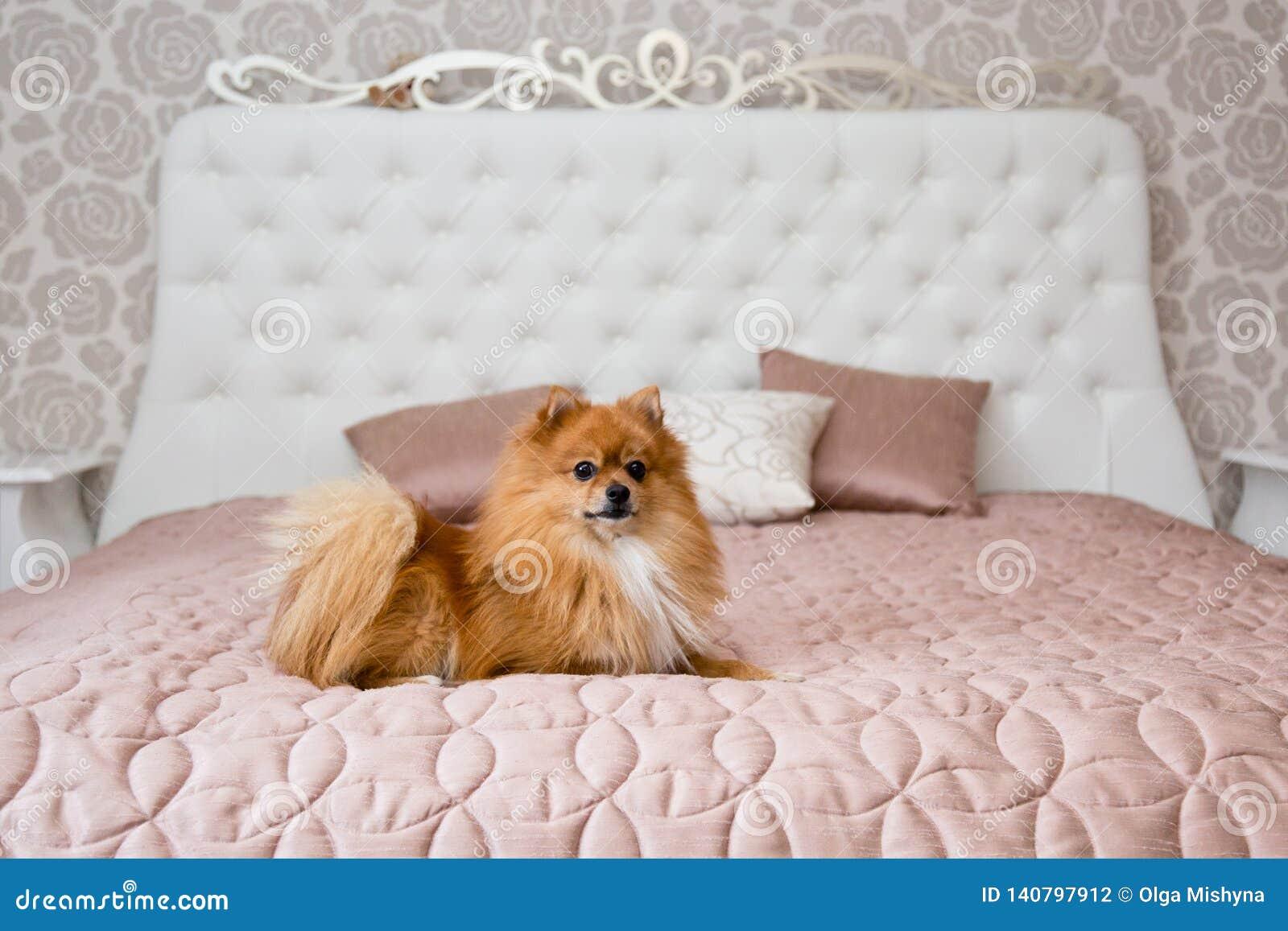 Husky dogpomeranian dog on a bed