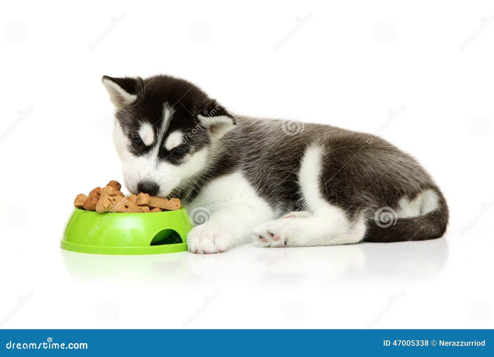Husky Eating Stock Photo