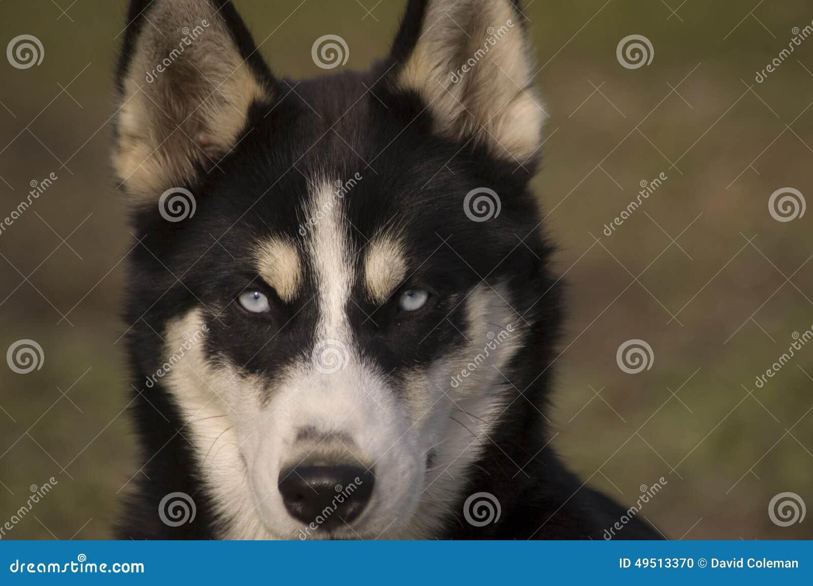 Husky kłaść w trawie z bliska ucho zjeżeni