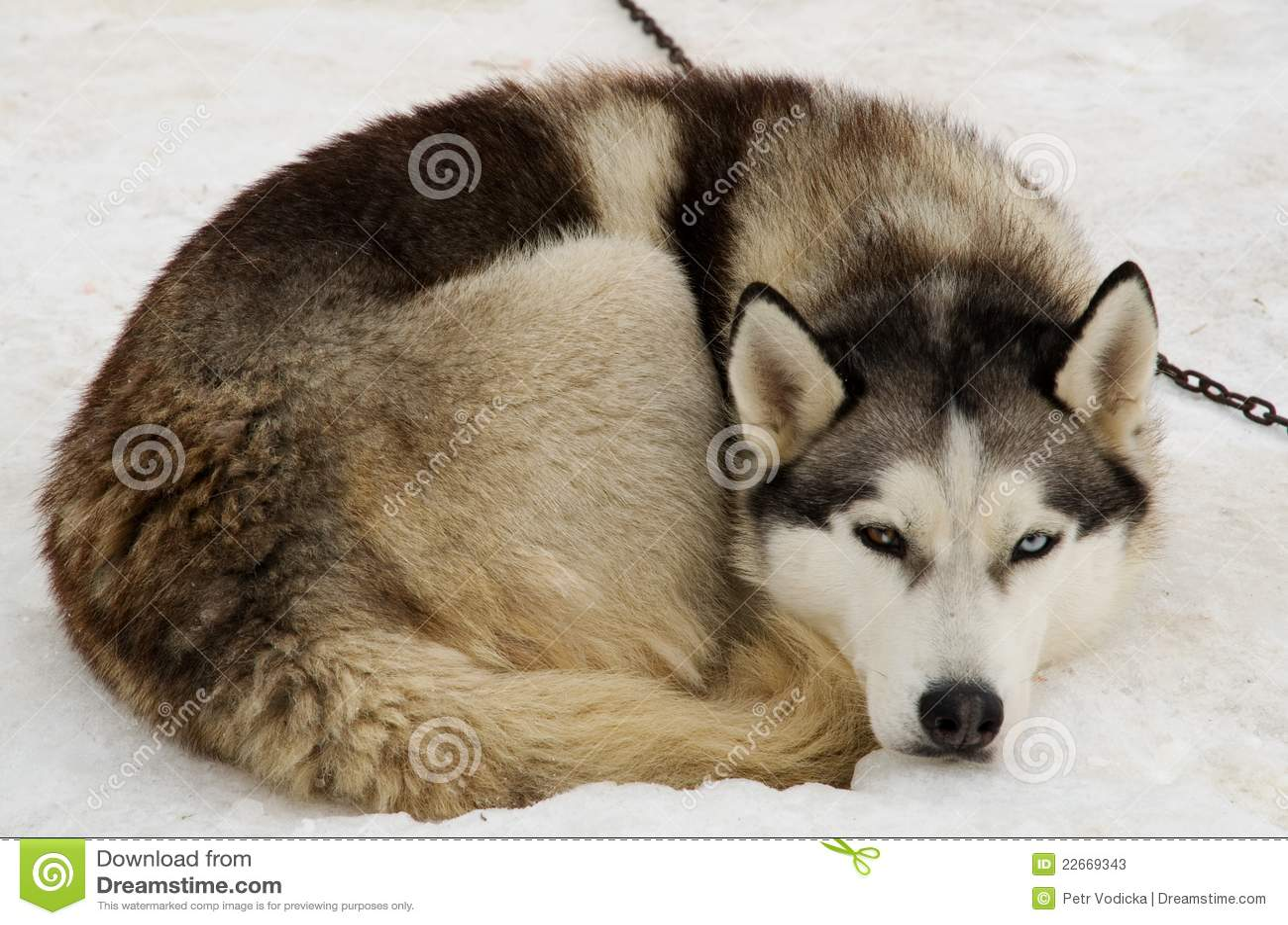 Husky liggande snow