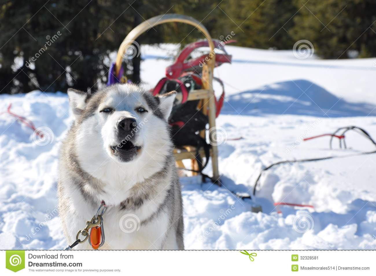 Download Husky stock image. Image of canada, québec, northern - 32328581