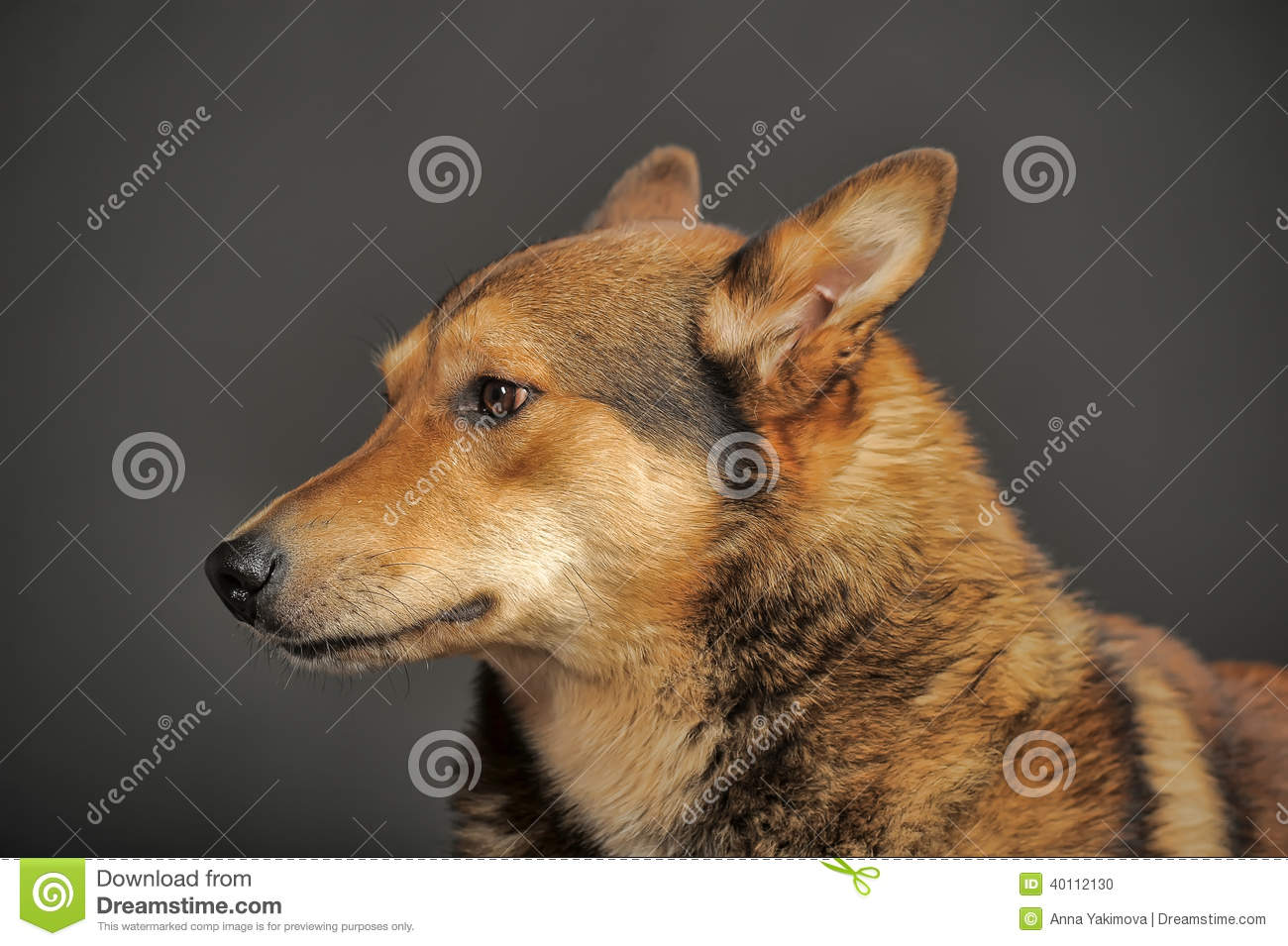 Husky Mixed With A German Shepherd Stock Photo Image Of Alaskan