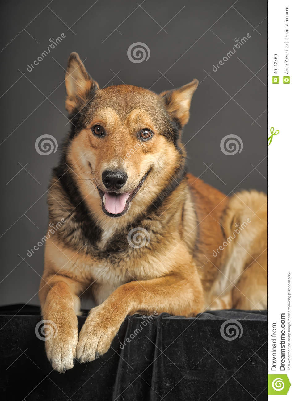 Husky Mixed With A German Shepherd Stock Photo Image Of Eyes