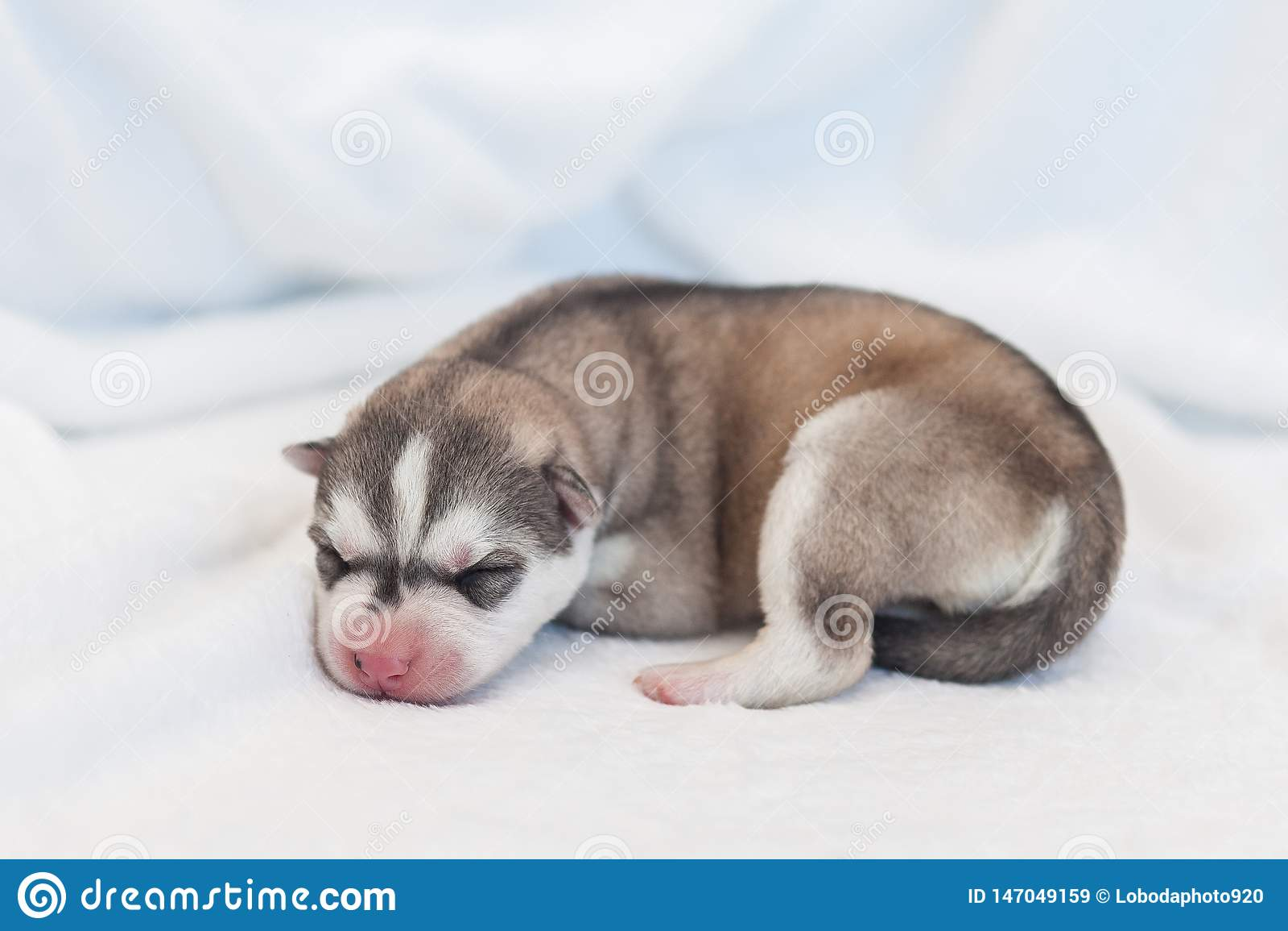 Husky Newborn Puppies 1 Day Stock Image Image Of Friend