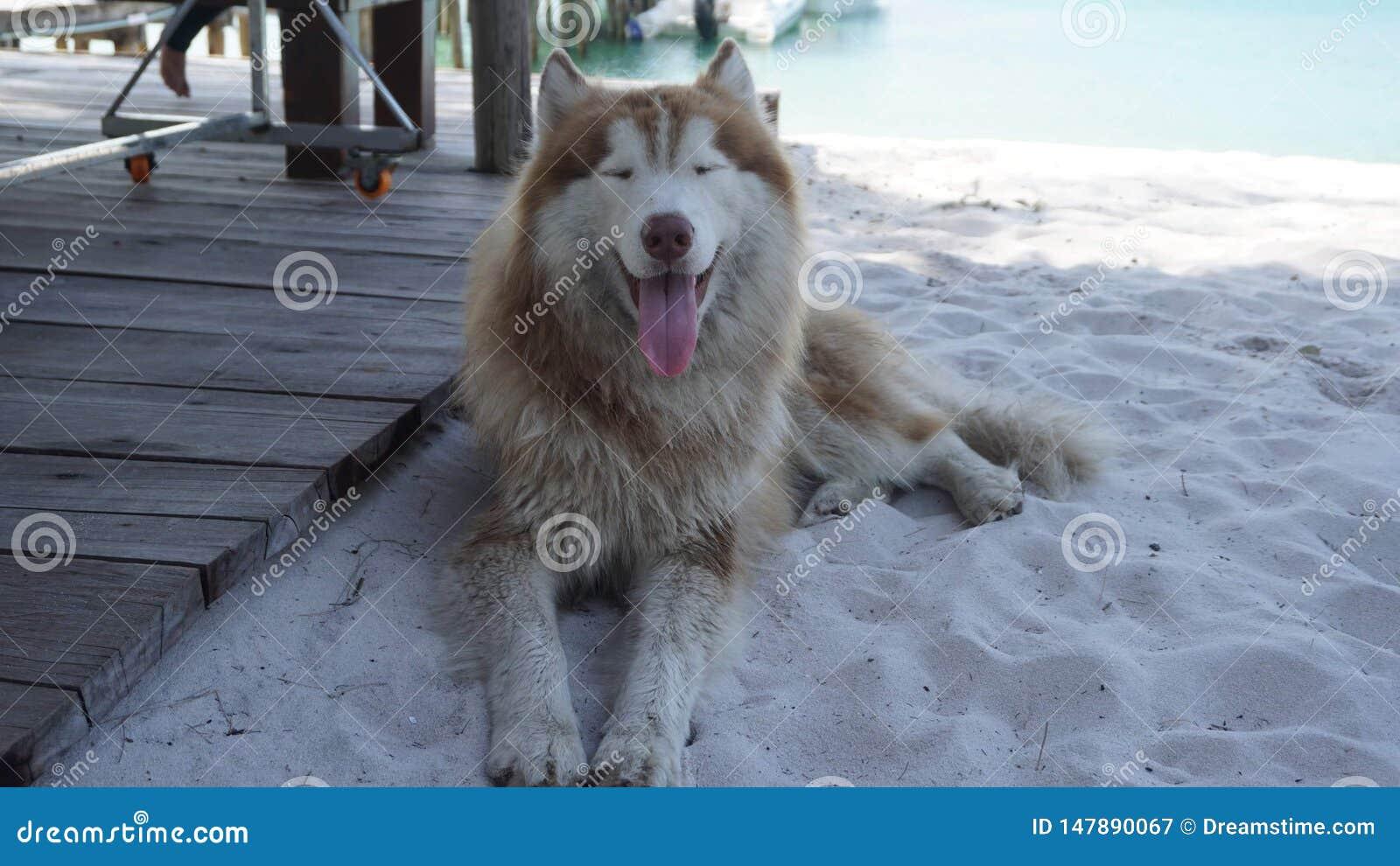 Husky pies
