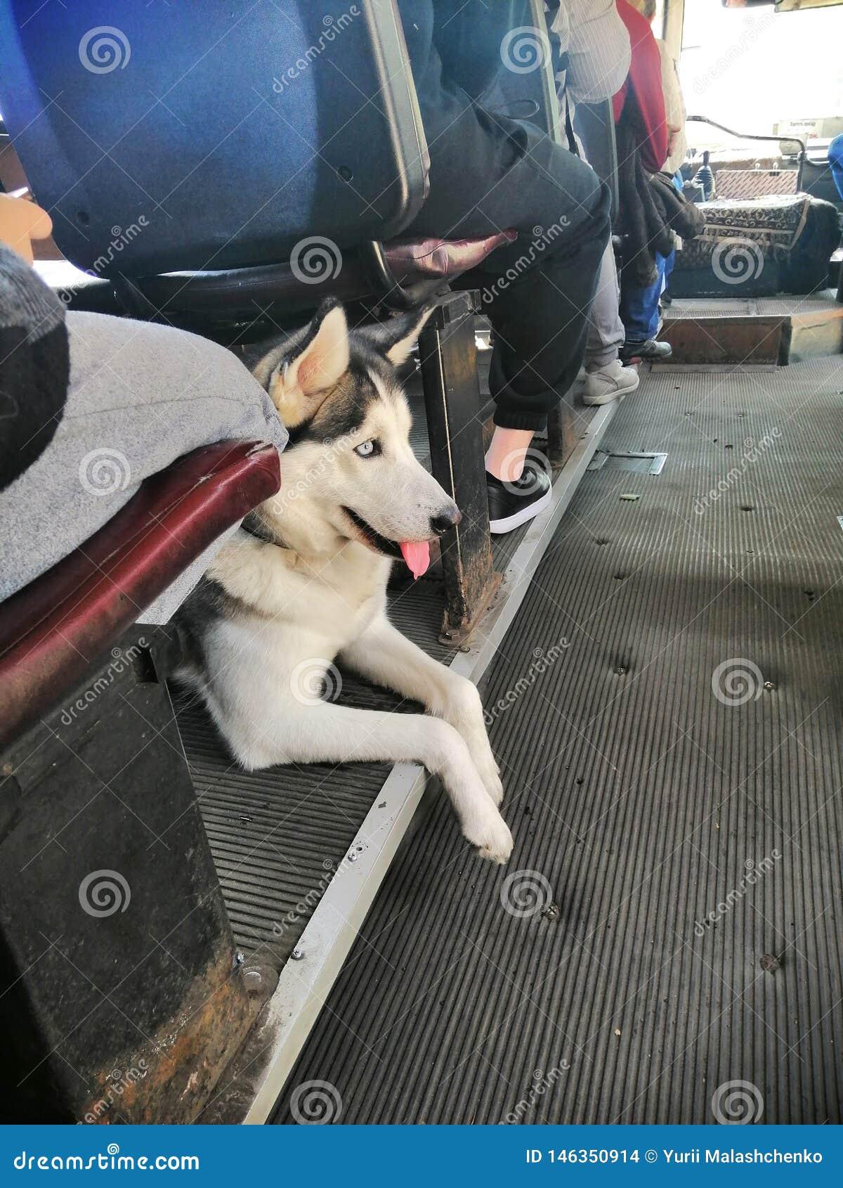 Husky psa transport publicznie
