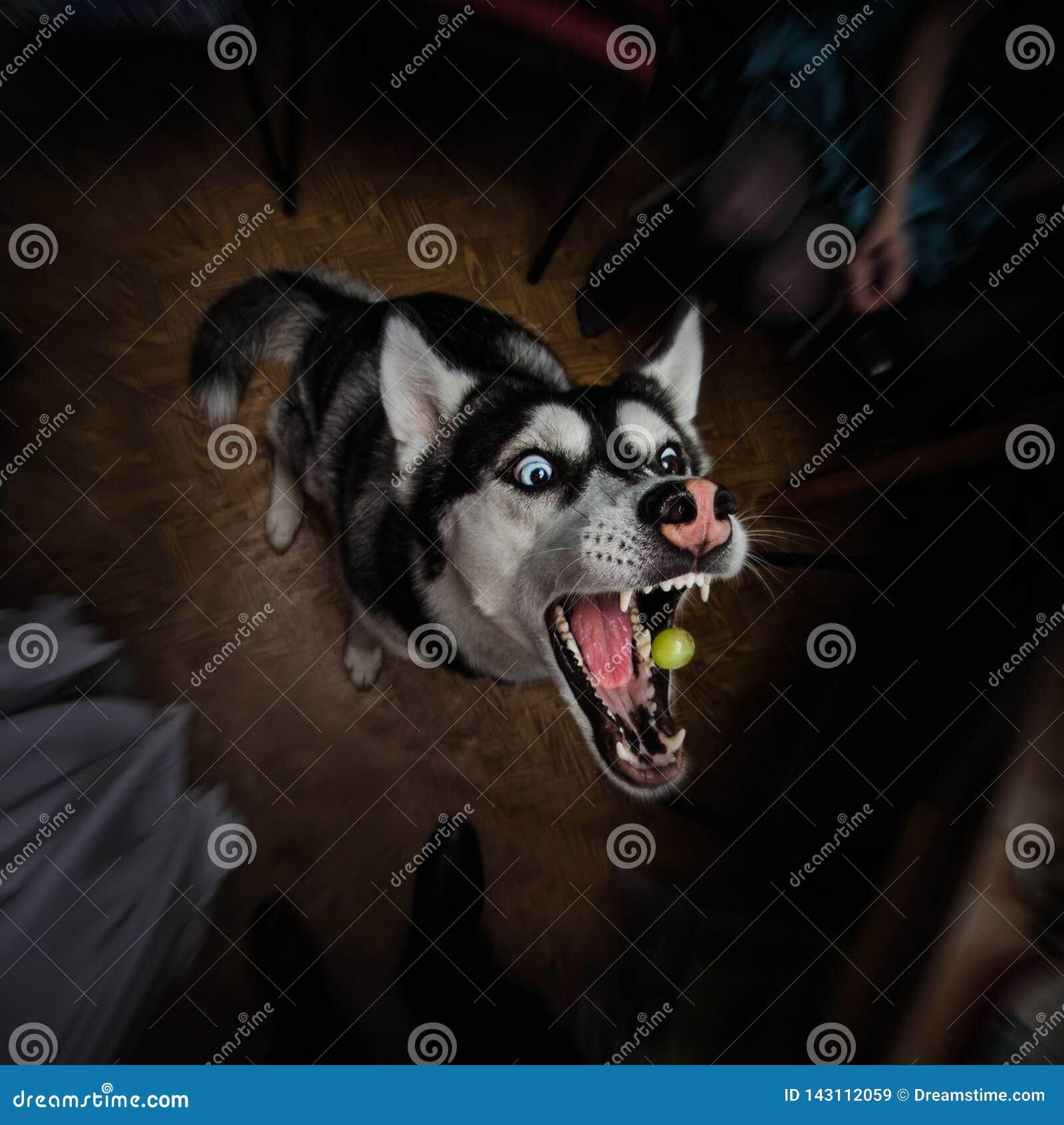 Husky psi próbować łapać winogrona z swój szczękami szeroko otwarty na ciemnym backround