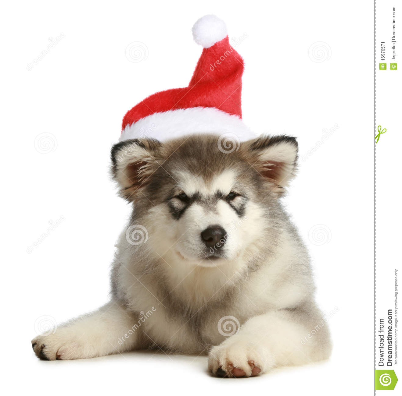 Husky Puppy (3 Months) In A Christmas Cap Stock Image - Image ...