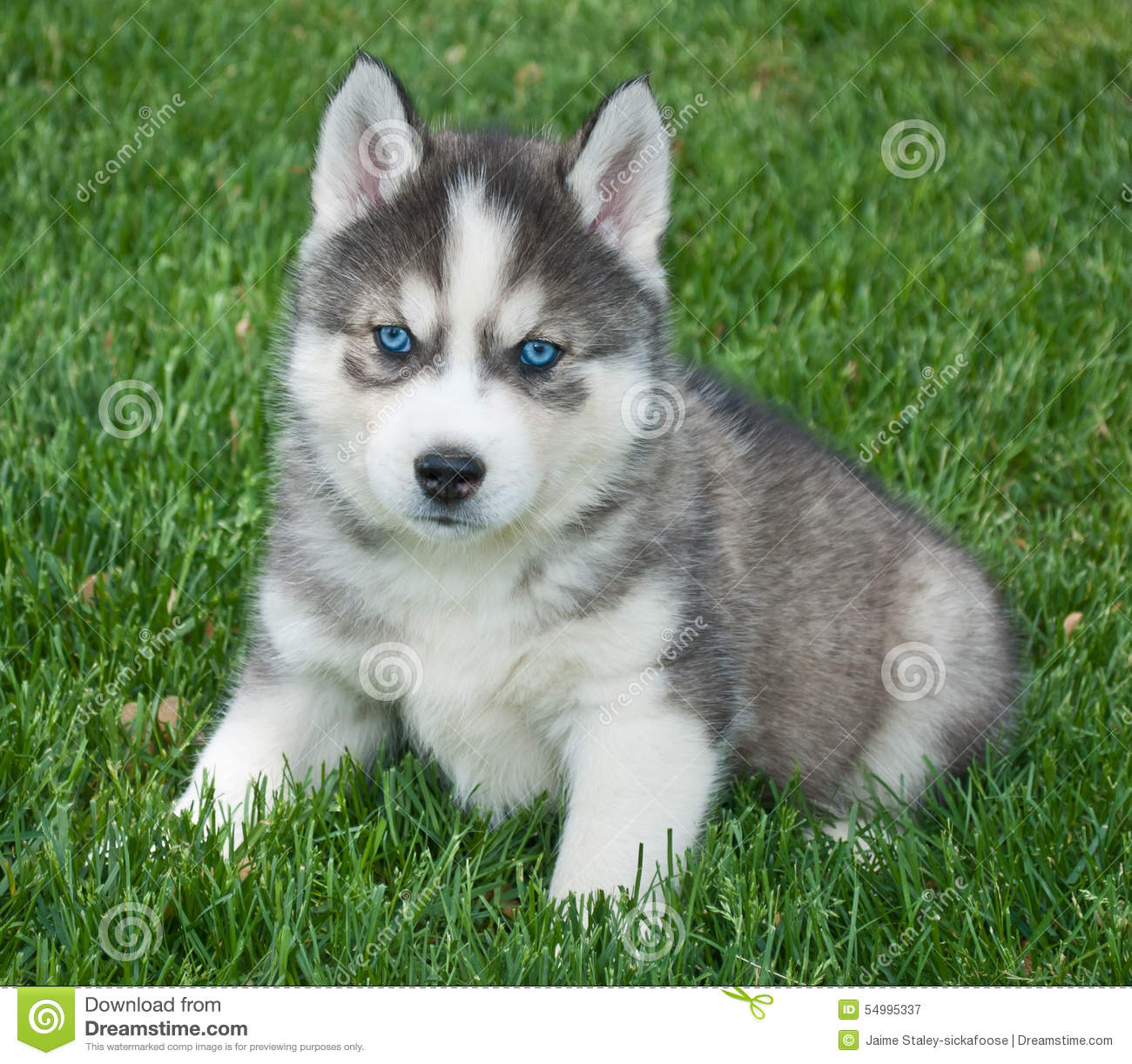 Husky Puppy stock image. Image of outside, grass, adorable ...