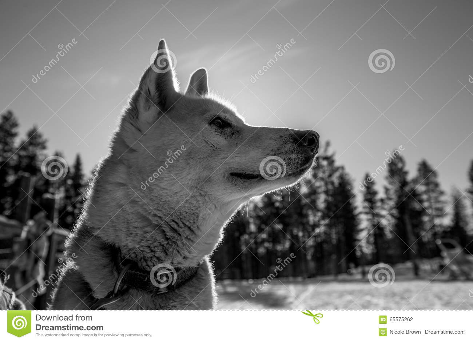 Husky Puppy branco e preto