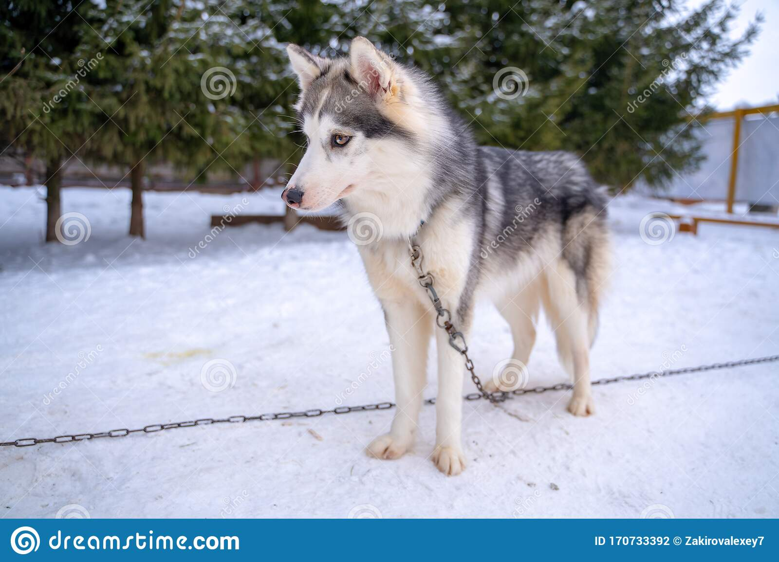 Husky Puppy Cute Adorable Baby Dog Face Waiting In The Dog House With Grass For Playing And Eating In The Animal Pet Stock Photo Image Of Blue Collar 170733392