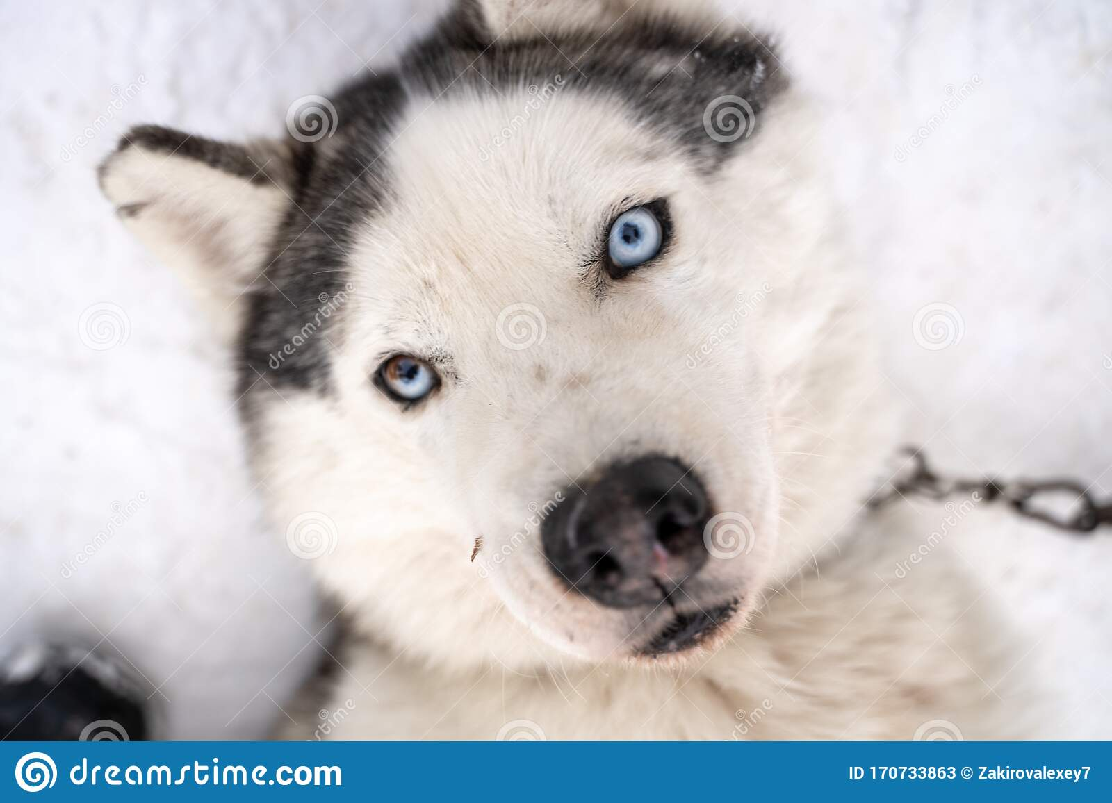 Husky Puppy Cute Adorable Baby Dog Face Waiting In The Dog House With Grass For Playing And Eating In The Animal Pet Stock Image Image Of Face Park 170733863