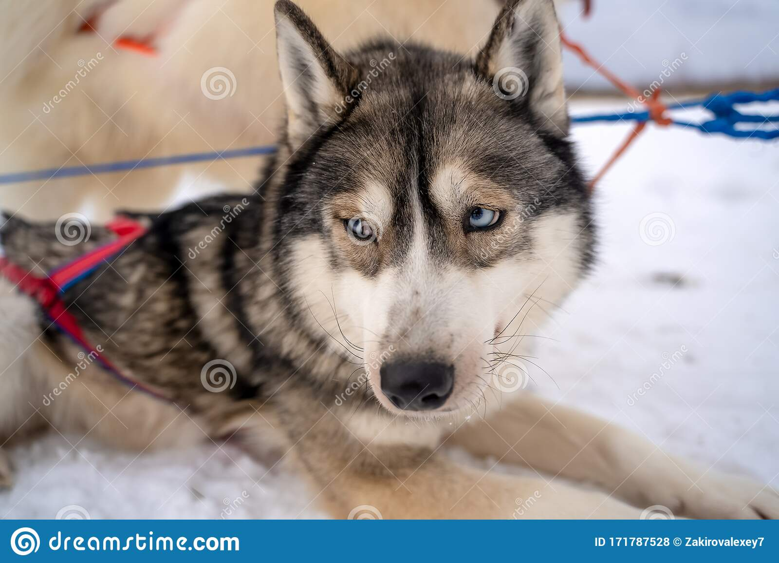 Husky Puppy Cute Adorable Baby Dog Face Waiting In The Dog House With Grass For Playing And Eating In The Animal Pet Field Stock Photo Image Of Group Finnish 171787528