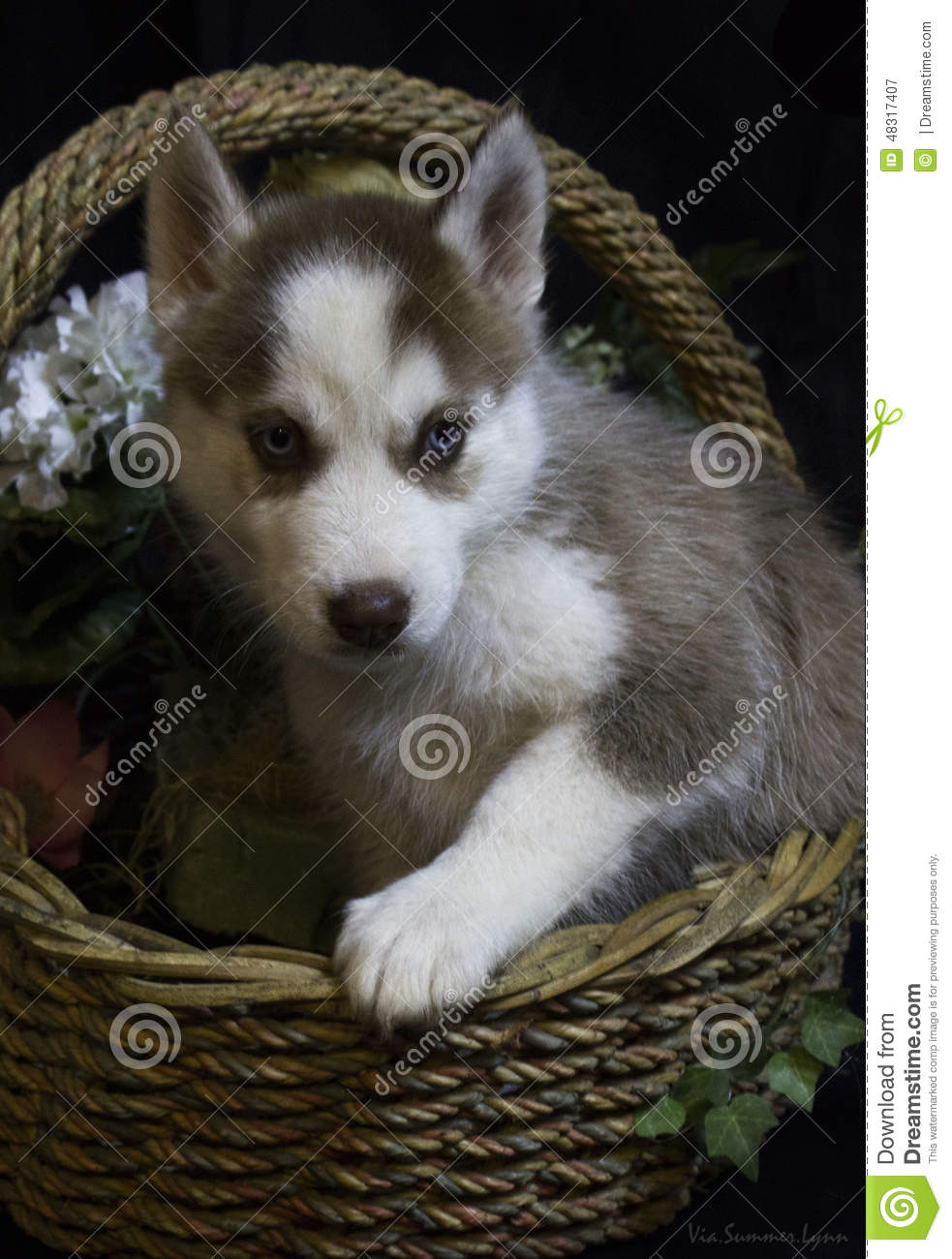 Husky Puppy In A Flower Basket Stock Image - Image of farm