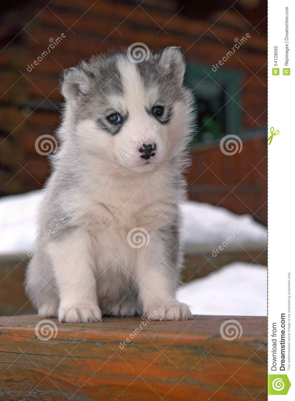 Husky Puppy Stock Image Image Of Animal Puppies Sled