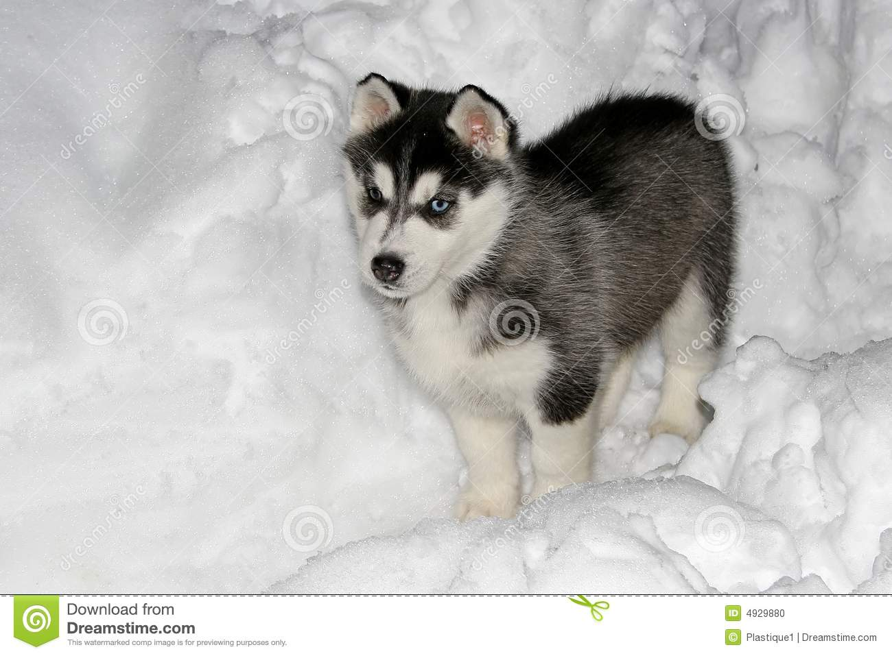 Cute Husky Puppies In Snow