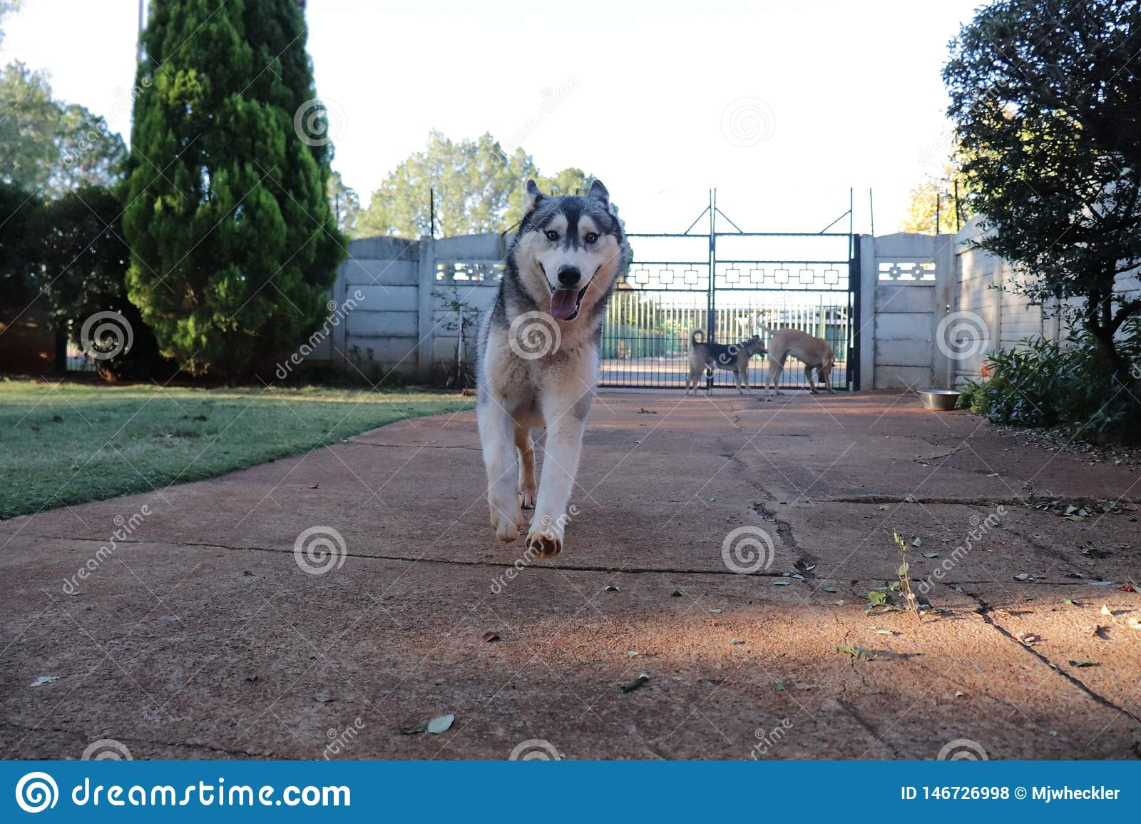 Husky Running In Motion