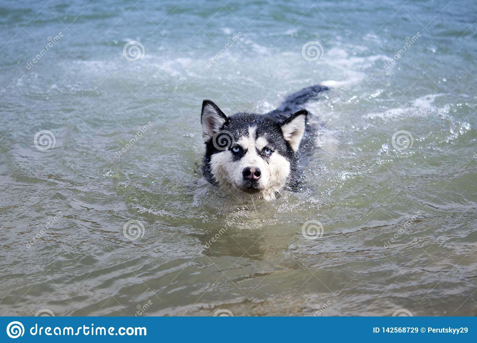 Husky siberian simning