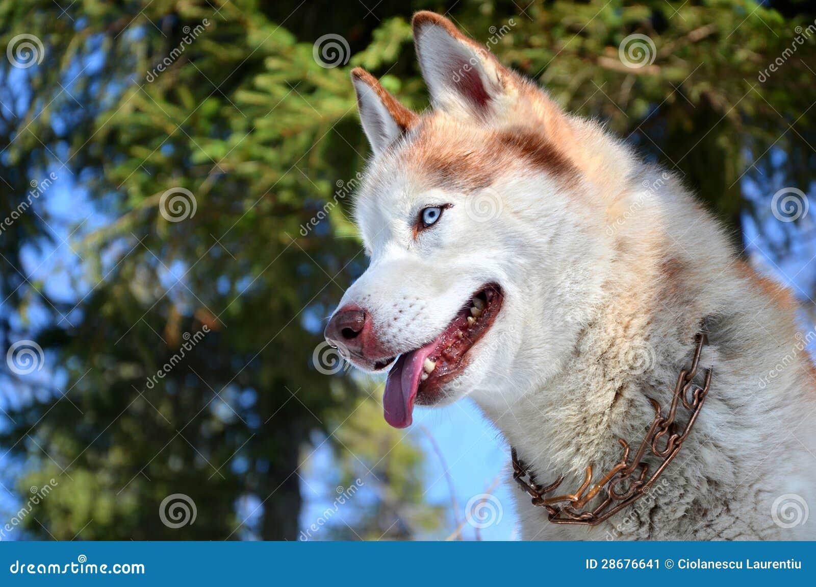 Husky siberiano con gli occhi azzurri immagine stock - Husky con occhi diversi ...