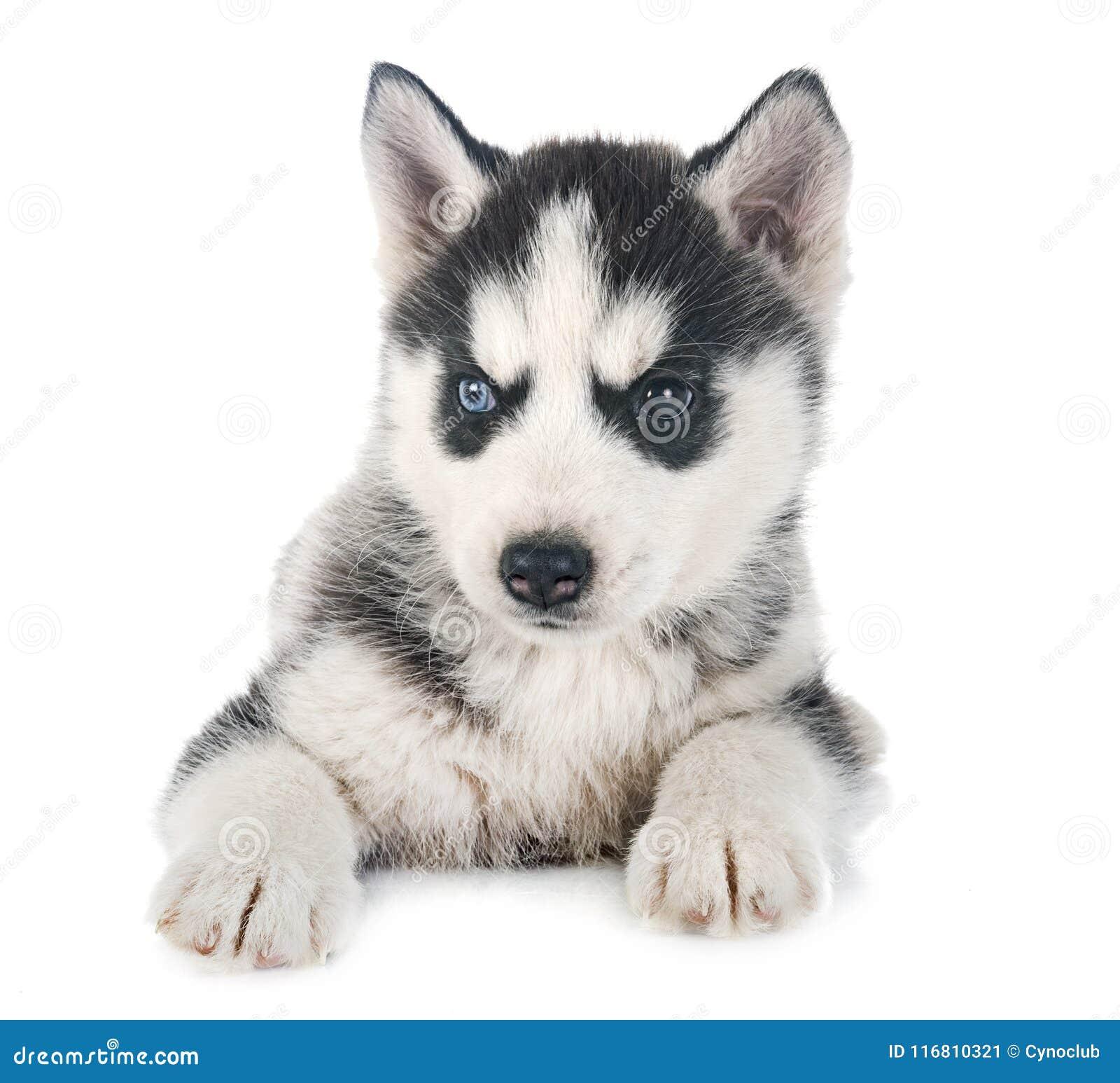 Husky siberiano del cucciolo