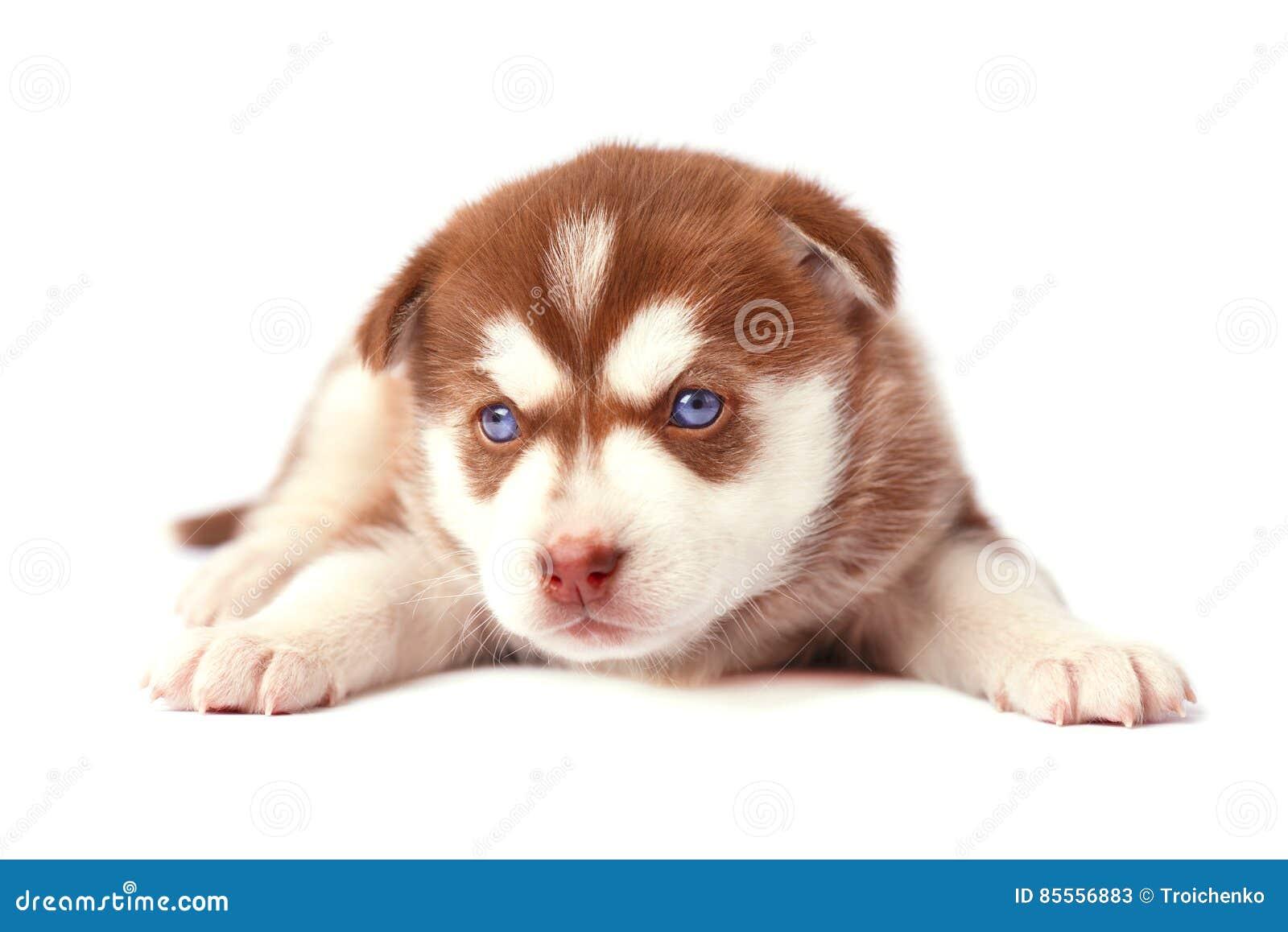 Husky siberiano marrón lindo del perrito, en el fondo blanco