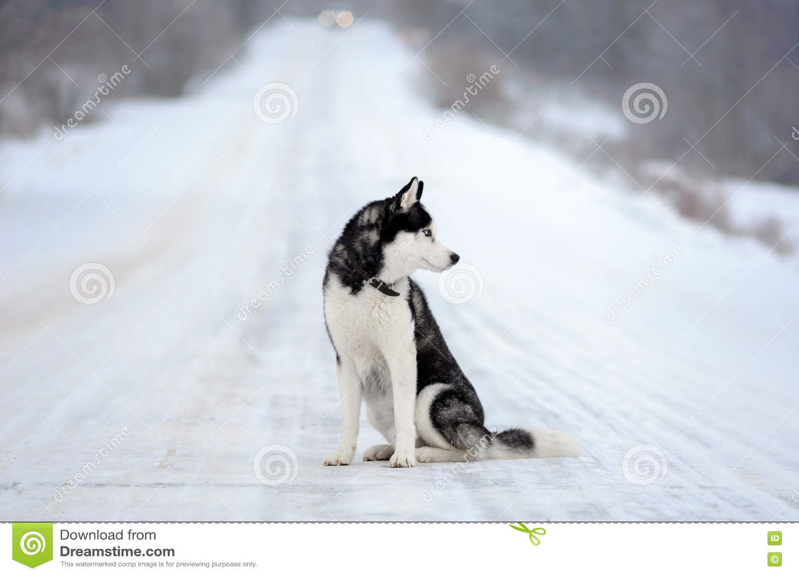 Husky siberiano nell inverno