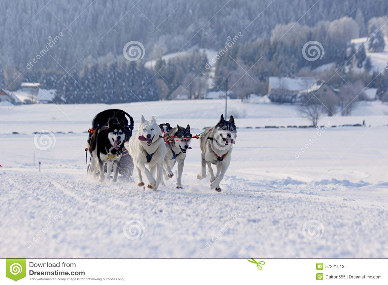 Pictures Of Husky Dogs Running Through The Snow
