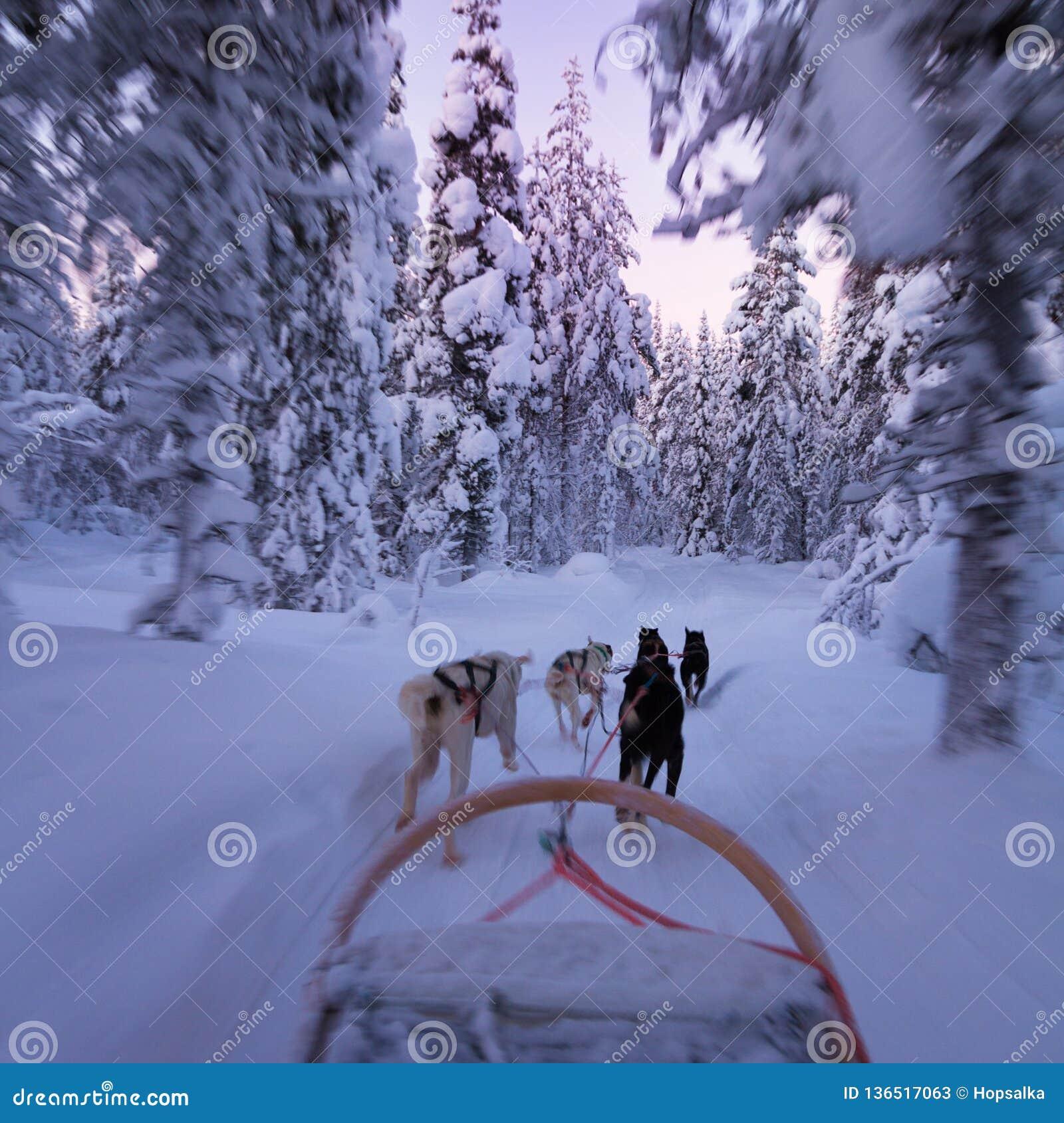 Husky sledge ride at twilight in winter wonderland