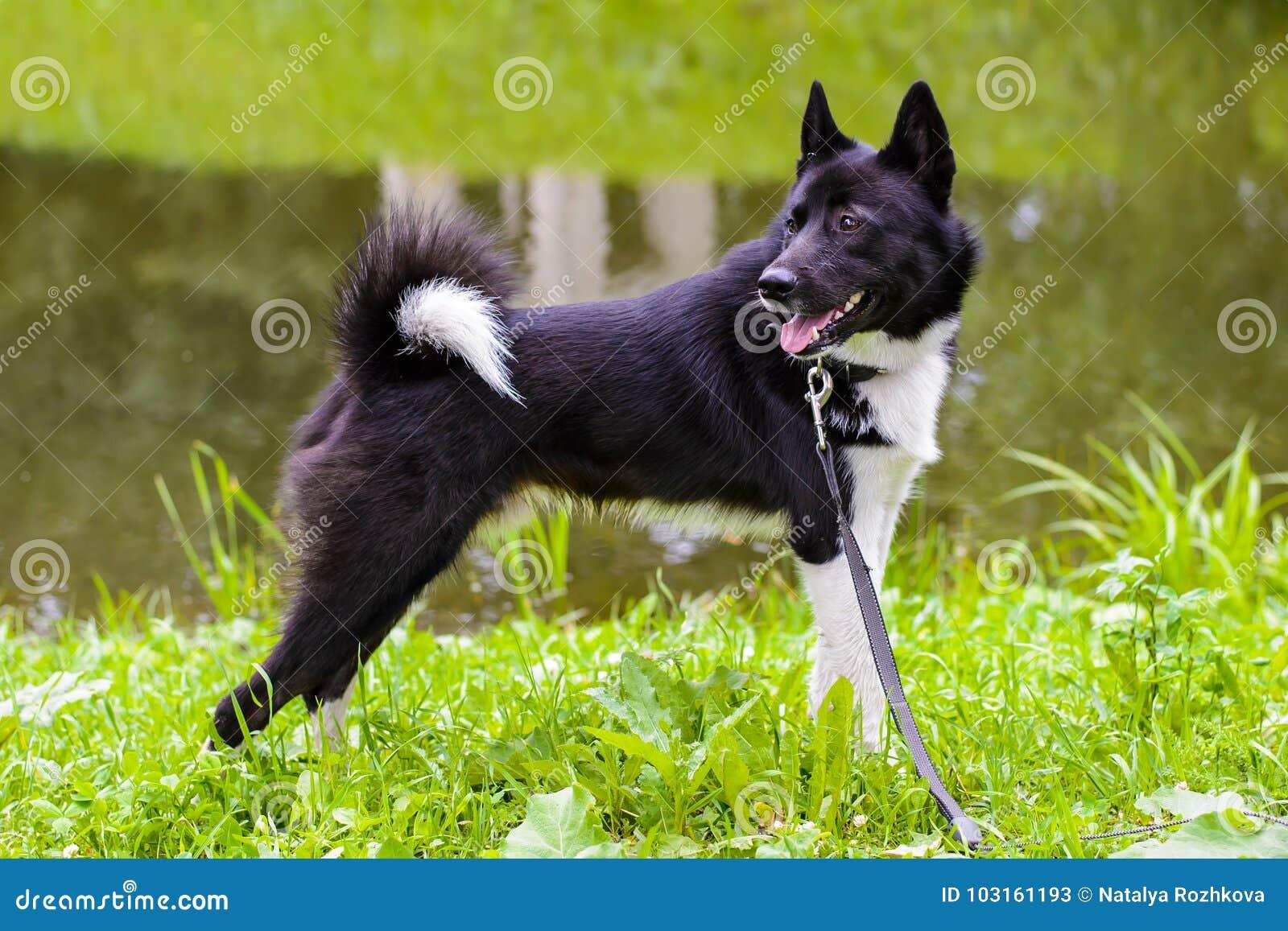 Husky standing on meadow.