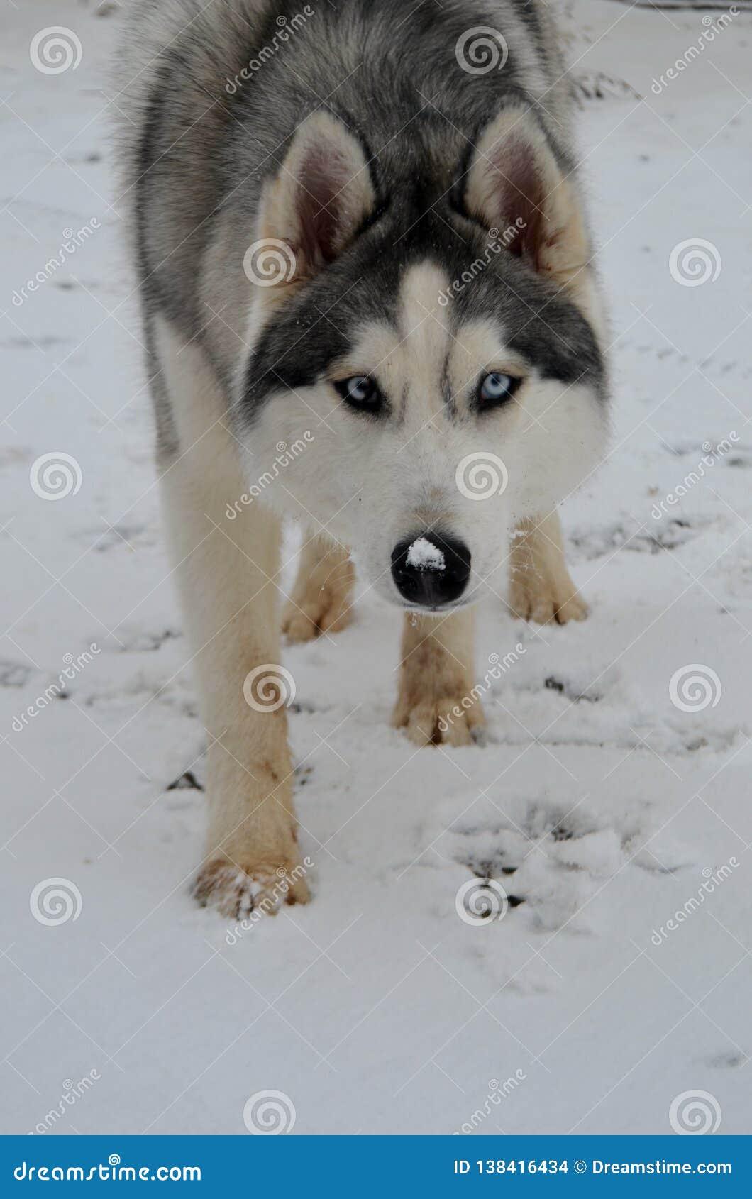 Husky sulla passeggiata di inverno nella foresta