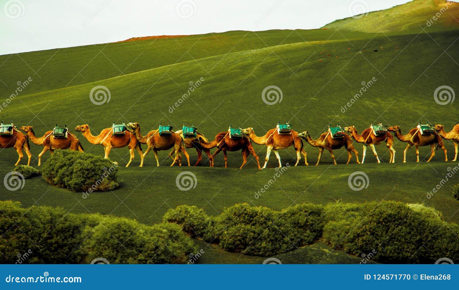 Husvagnen av kamel är kommande på