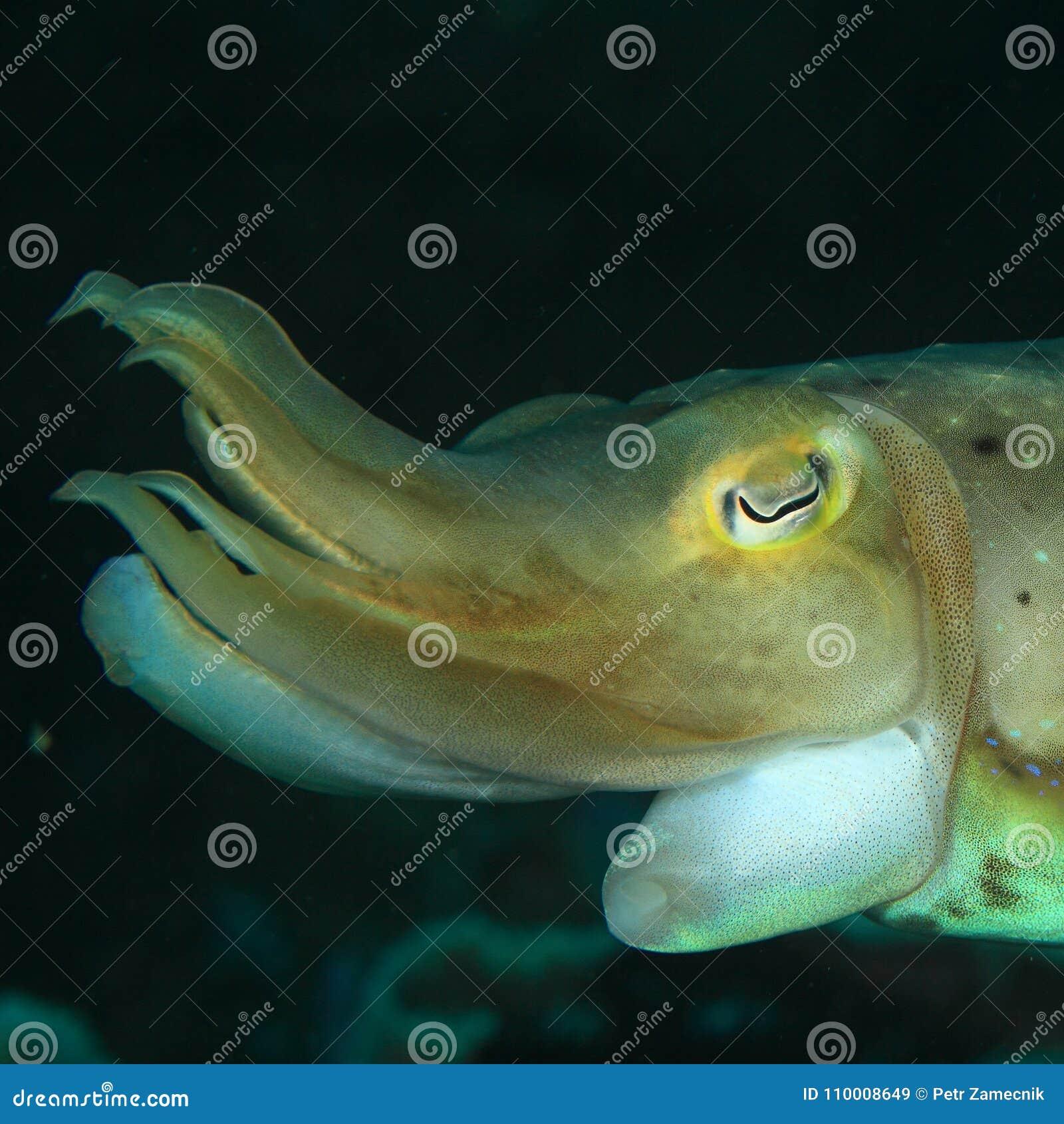 Huvud av den gemensamma bläckfisken