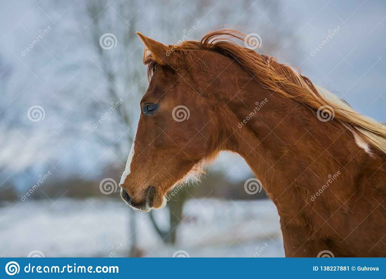 Huvud av den härliga unga bruna hästen på en vinterdag