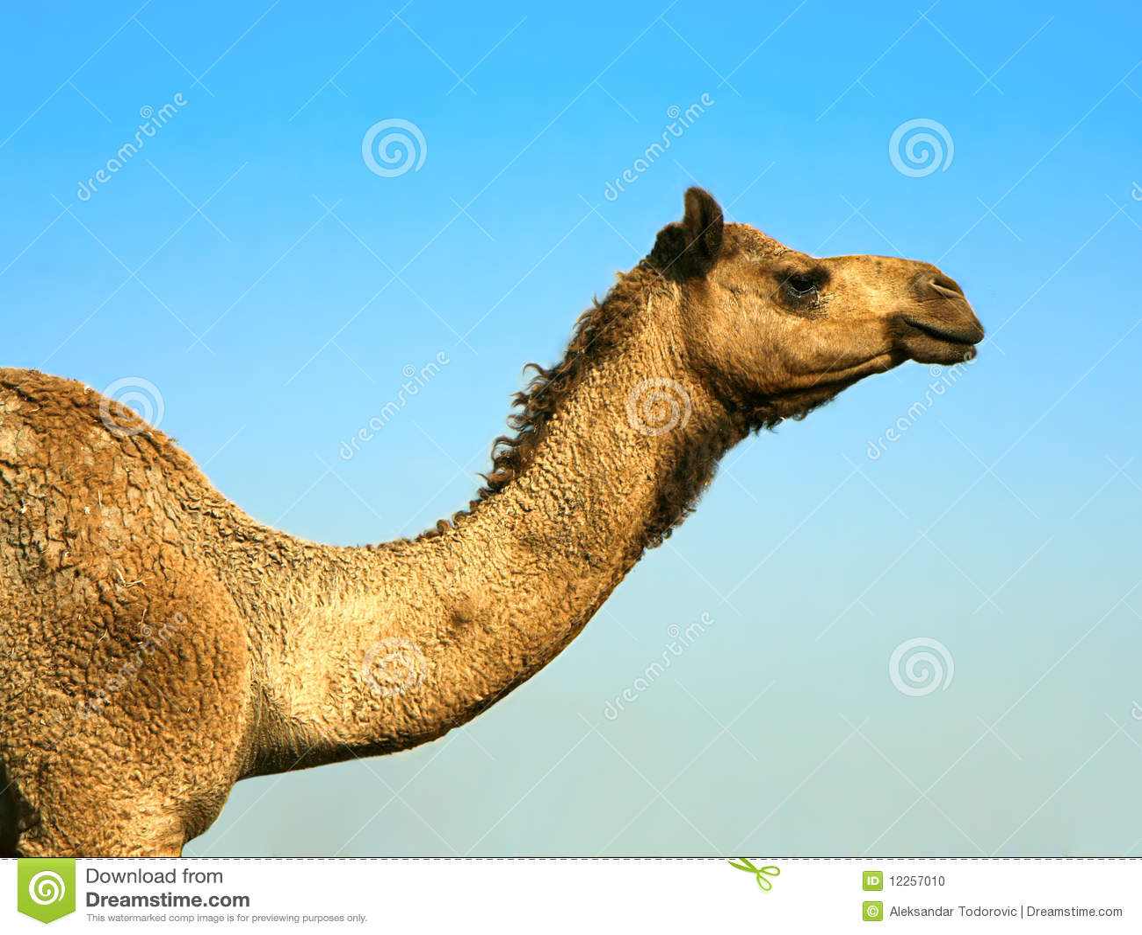 Huvud av en kamel på safari - öken
