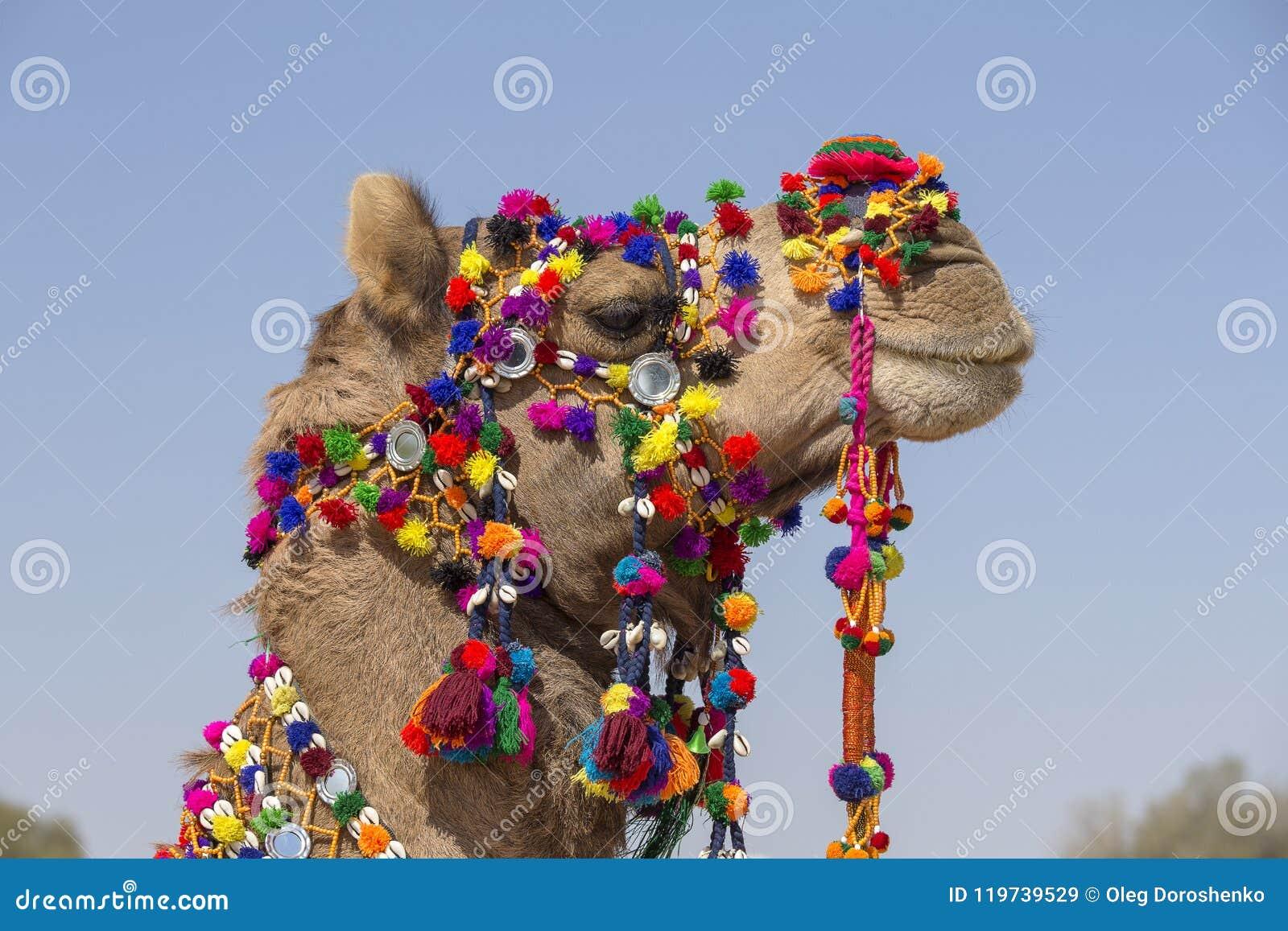 Huvud av en kamel som dekoreras med färgrika tofsar, halsband och pärlor Ökenfestival, Jaisalmer, Indien