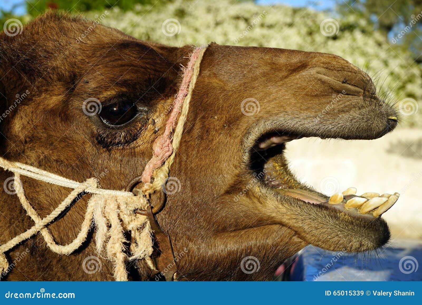 Huvud av kamlet