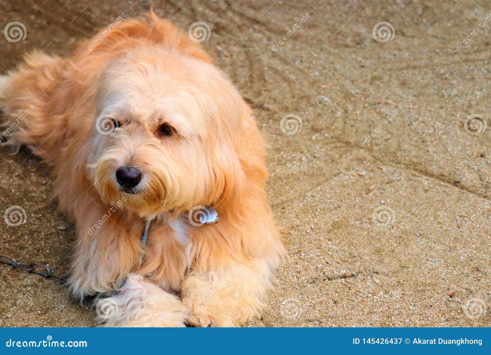 Huvud en hund och bruna ögon