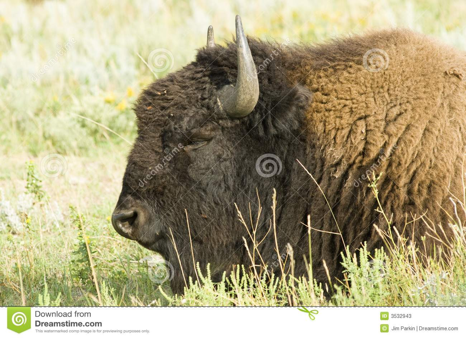 Huvud för 2 buffel