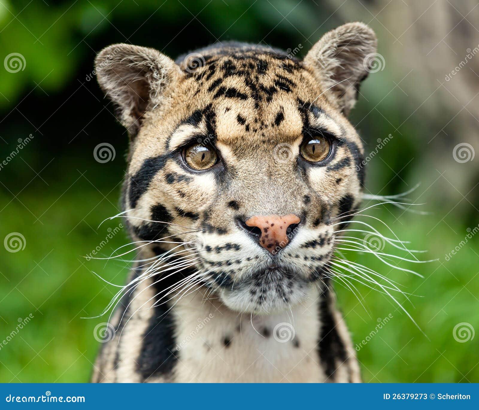 Huvud skjuten stående av den härliga fördunklade leoparden