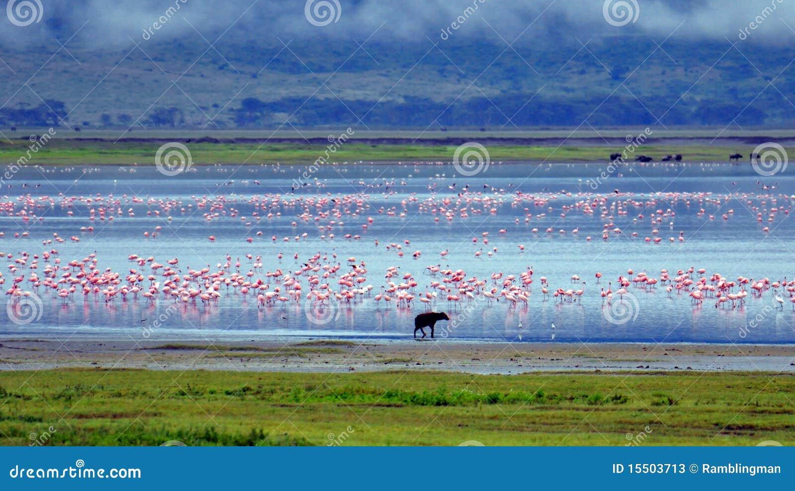 Hyäne und Flamingos