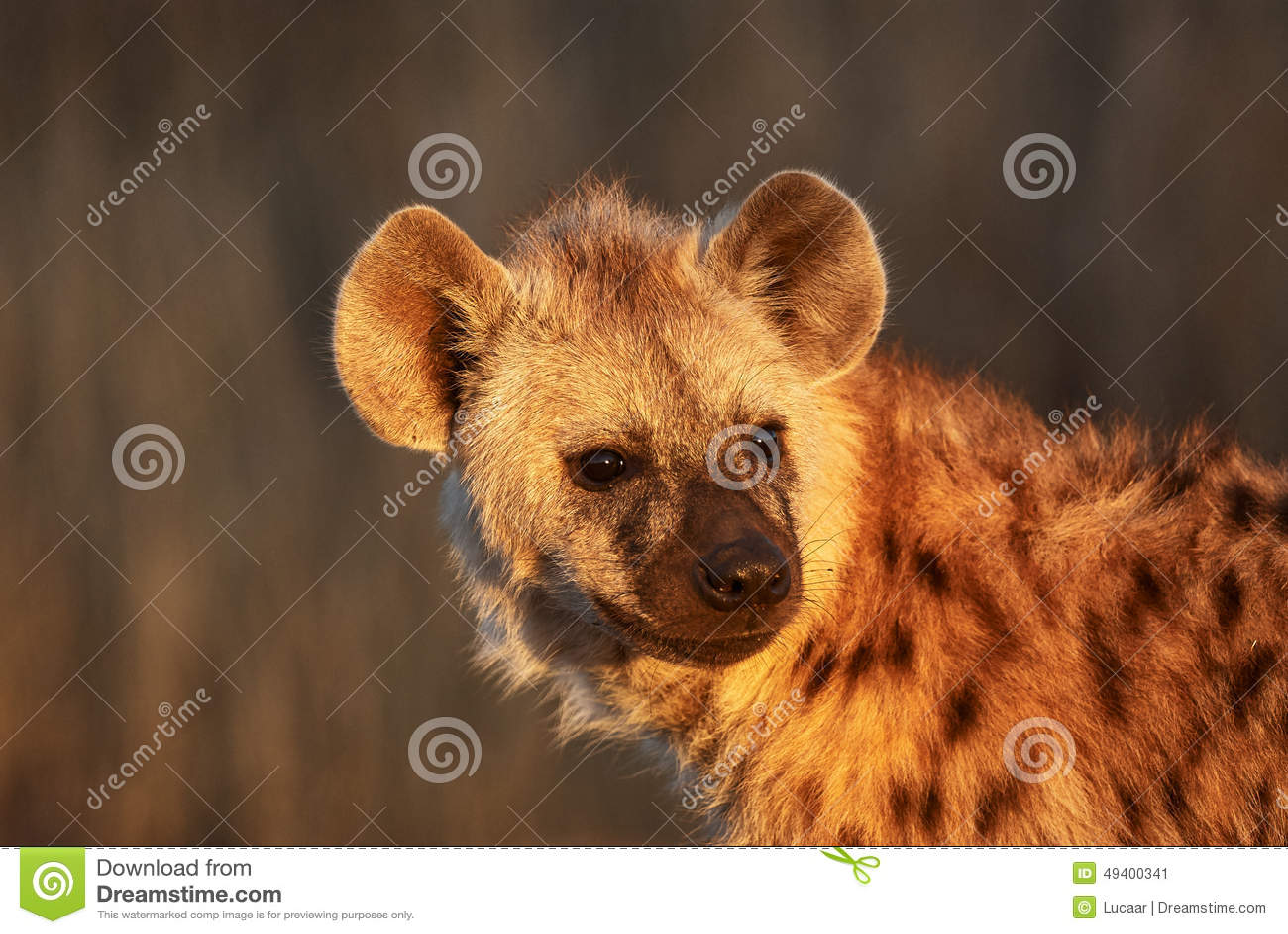Download Hyänenjungsporträt stockbild. Bild von braun, nave, jung - 49400341