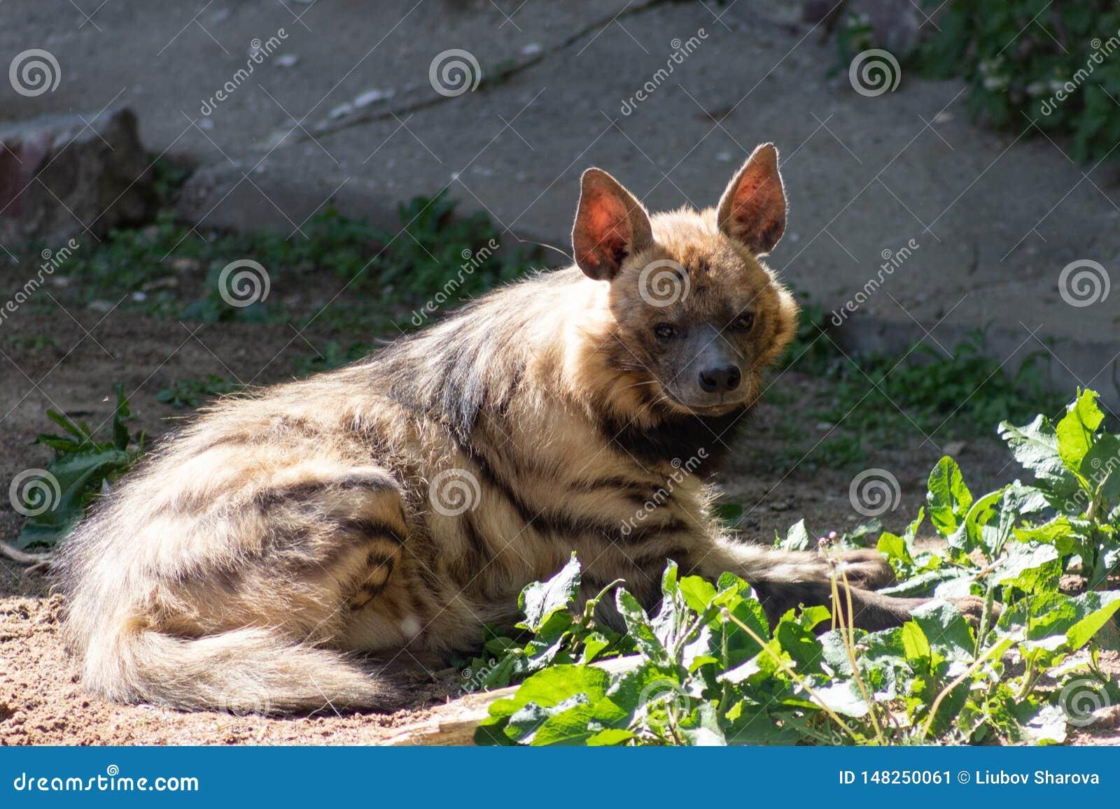 Hyène d hyène barrée un animal rare en danger de l extinction, se dorant au printemps le soleil dans le zoo de Moscou