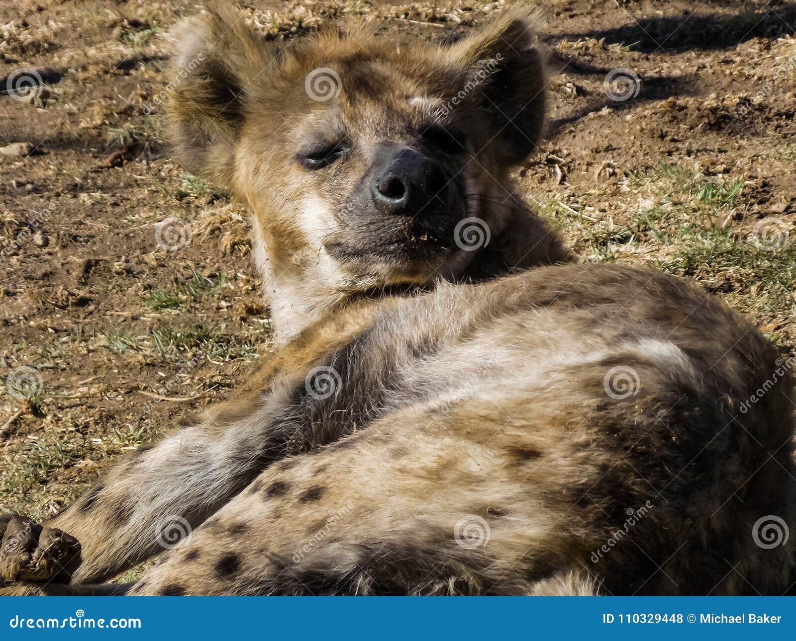 Hyène paresseuse au soleil