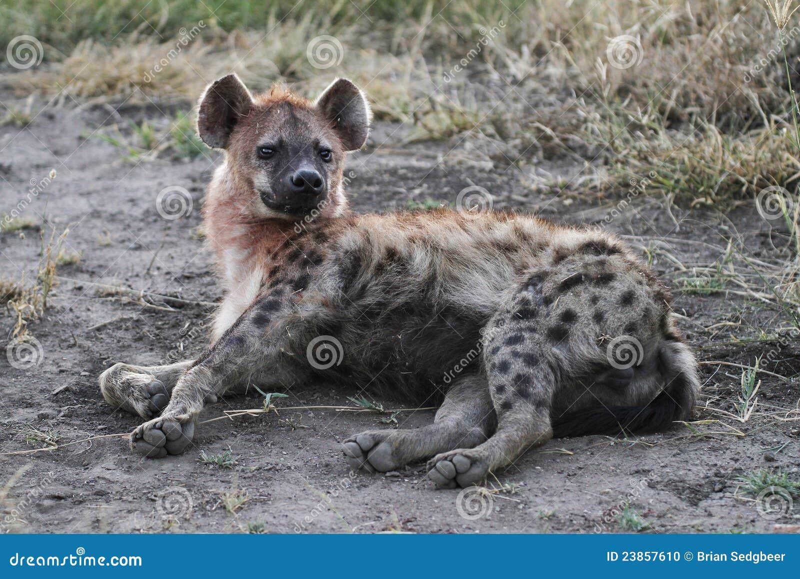 Hyène repérée